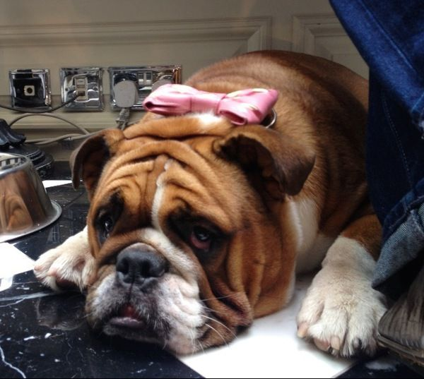 ❤ All dressed up & no where to go! ❤ Posted from The London Monthly Bulldog Meetup Group