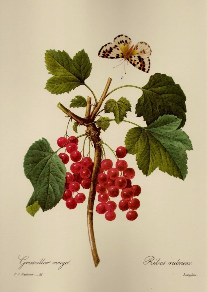 Redoute red currant fruit print gallery wall country kitchen decor pjr 2391 vegetable printsantique illustrationbotanical