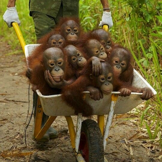 44529a262a5a7c47f06fade0758b0ad7.jpg (540×539) a barrel full of monkeys, well actually baby orangs