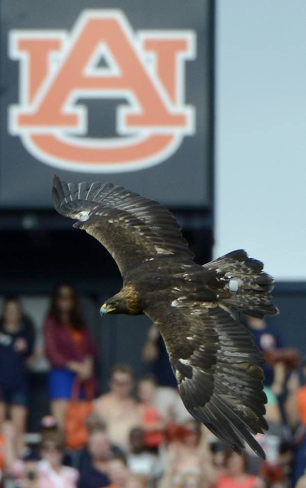 1000  images about auburn tigers