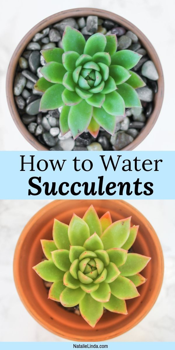 How To Water Succulents The Right Way How To Water Succulents