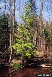 ISU Forestry Extension - Tree Identification: Northern White Cedar (Thuja occidentalis)