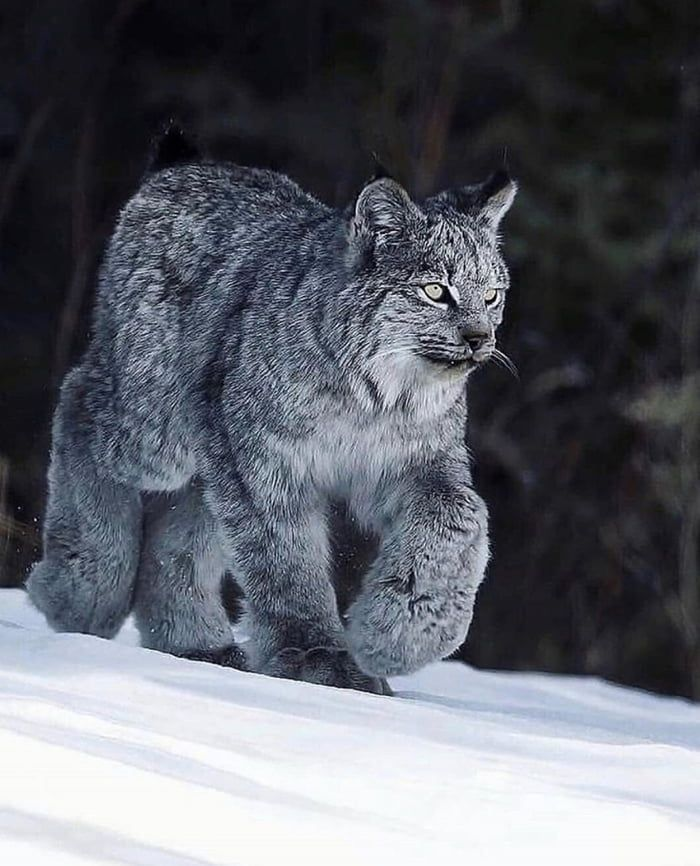 The Canada Snow Lynx And His Big Maw Paws Animals Animals Beautiful Majestic Animals