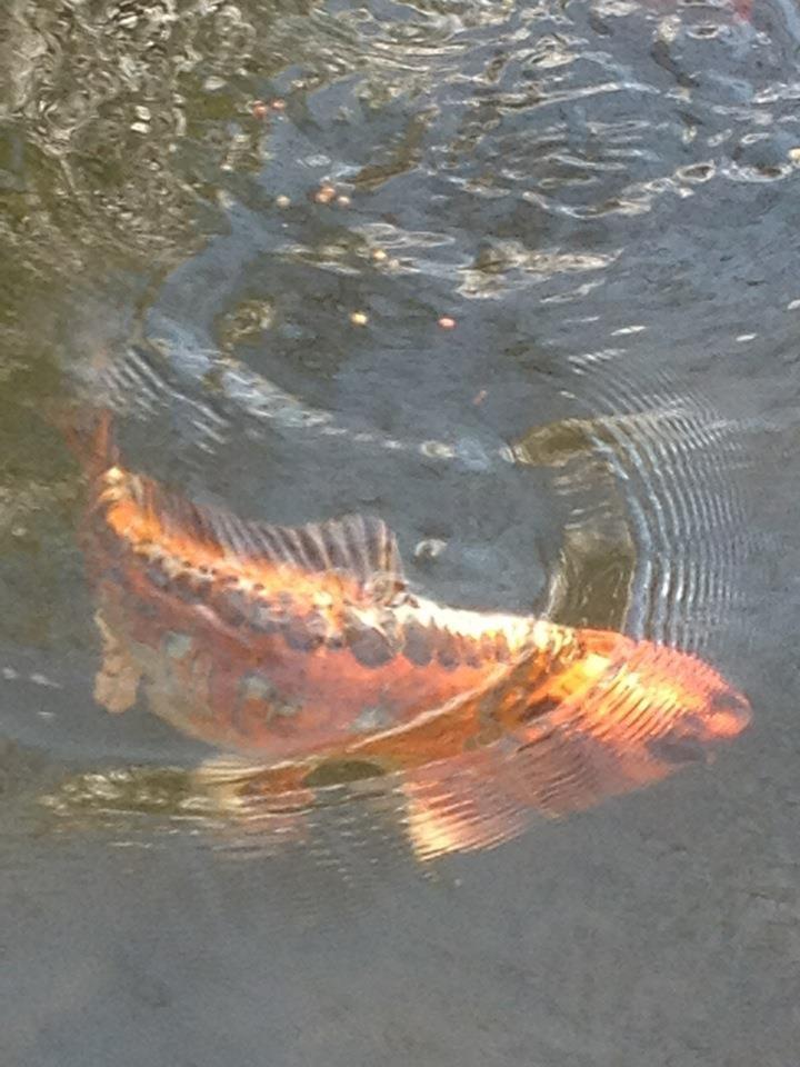 Whitton's Koi Pond '12