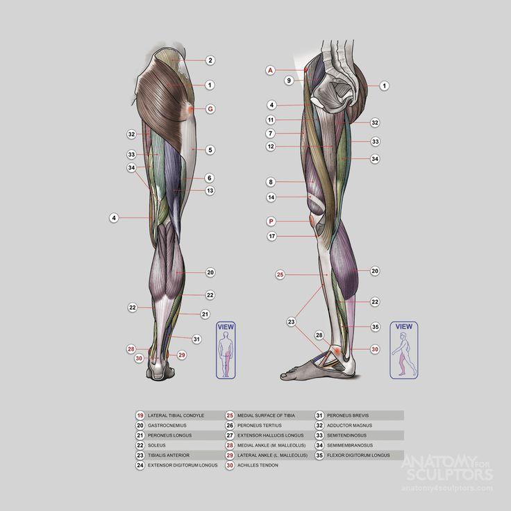 159 Best Anatomy For Sculptors Leg Images On Pinterest Human