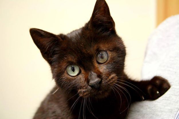 Ronin, gato en adopción en Madrid (España) cpa.torrejon@hoope.org