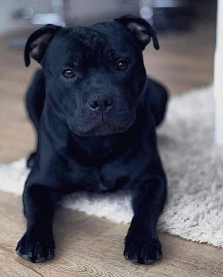 Pin By Dolce X On Pitbulls Staffy Dog Pitbulls Pitbull Dog
