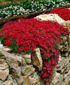 Balkon Blumen: Mauerpfeffer - Ein Retter für Bienen, Hummeln + Schmetterlinge. In der warmen Jahreszeit erfreuen wir uns alle an blühenden Blumen, aber denkt bitte auch daran bienenfreundliche Blumen anzupflanzen. Mauerpfeffer z.B. gibt es in vielen Farben (-: