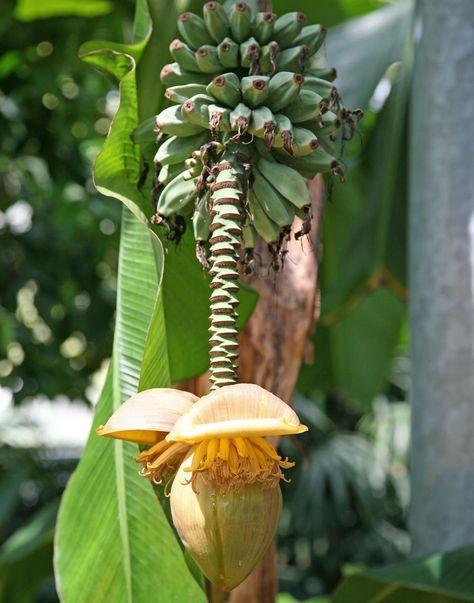 Wer sich eine Bananenstaude für die Terrasse oder den Garten wünscht, der greift am besten zu Musa basjoo, denn die Japanische Faserbanane ist mittelgroß, pflegeleicht und winterhart. #banane #faserbanane