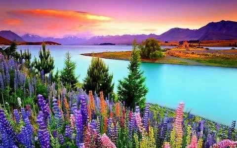 Csillagfürt, tavasz, tekapo-tó, új-zéland | feltöltve: 2015. márc. 07. - csello, legnagyobb felbontás: 1920x1200