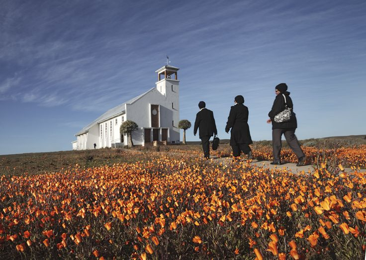 Namaqualand Daisies bloom in early spring in front of the Dutch Reformed Mission Church of Africa on a hill in Loeriesfontein in the Hantam Karoo.