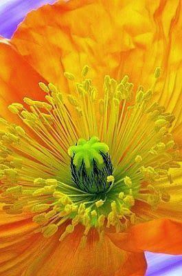 """flowersgardenlove: """" Poppy Beautiful """""""