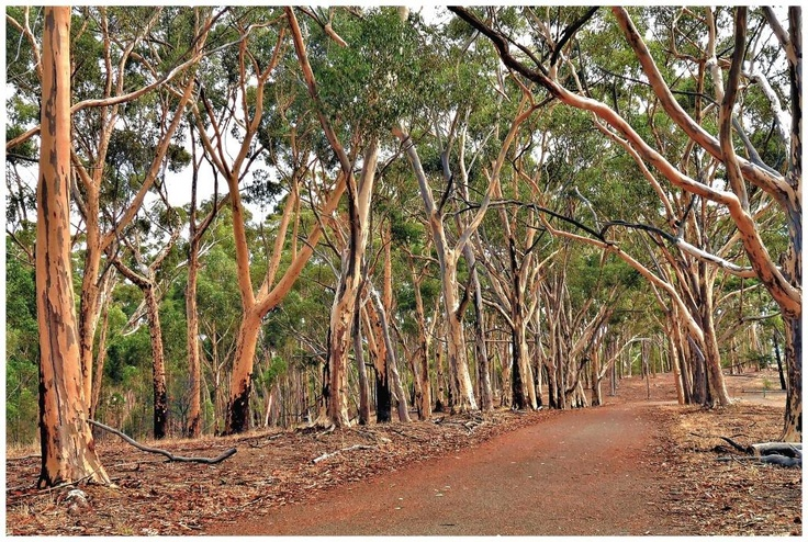 An avenue of gum trees Belair National Park South Australia