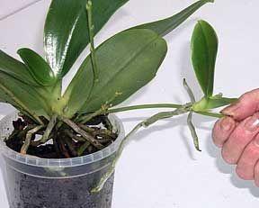 REPRODUCTION DES ORCHIDÉES - Des jeunes plantes appelées keikis peuvent apparaître sur les vieilles hampe florale si on ne les coupe pas. Il pourra être détaché de la plante et rempoté à part.