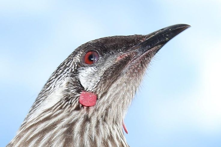 Wattlebird blink head note i did not have to choke any birds  to get there photos