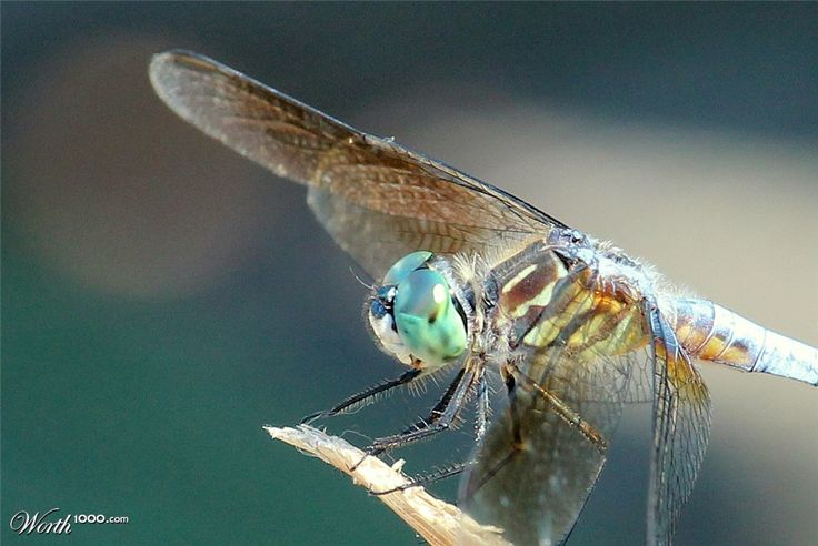 Blue Dasher Dragonfly - Worth1000 Contests - 10th place (out of 50) - Intermediate: Color Macro 2013