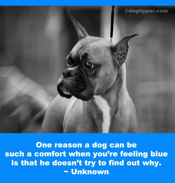 One reason a dog can be such a comfort when you're feeling blue is that he doesn't try to find out why.: Dogs Quotes, French Bulldogs, Bella Favorite, Animal Puppies, Bark, Better Comforter, Offer Comforter, Canin Cure, Feelings Blue