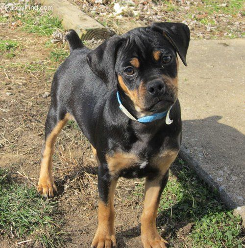 rottweiler pug mix carlin pincher looks like a mini rottweiler not just 9890