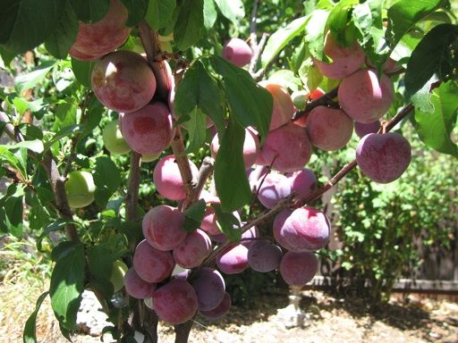 Multi grafted pluot tree plant ideas and more pinterest trees - Graft plum tree tips ...