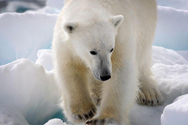 ღღ Polar Bear in Tasiilaq - East Greenland by Moreno Bartoletti on 500px