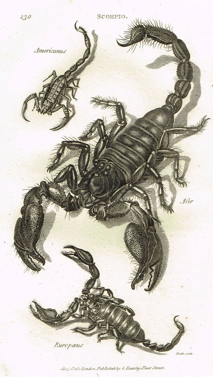 "Shaw's General Zoology - (Insects) - ""SCORPIO - SCORPIONS"" - Copper Engraving - 1805"