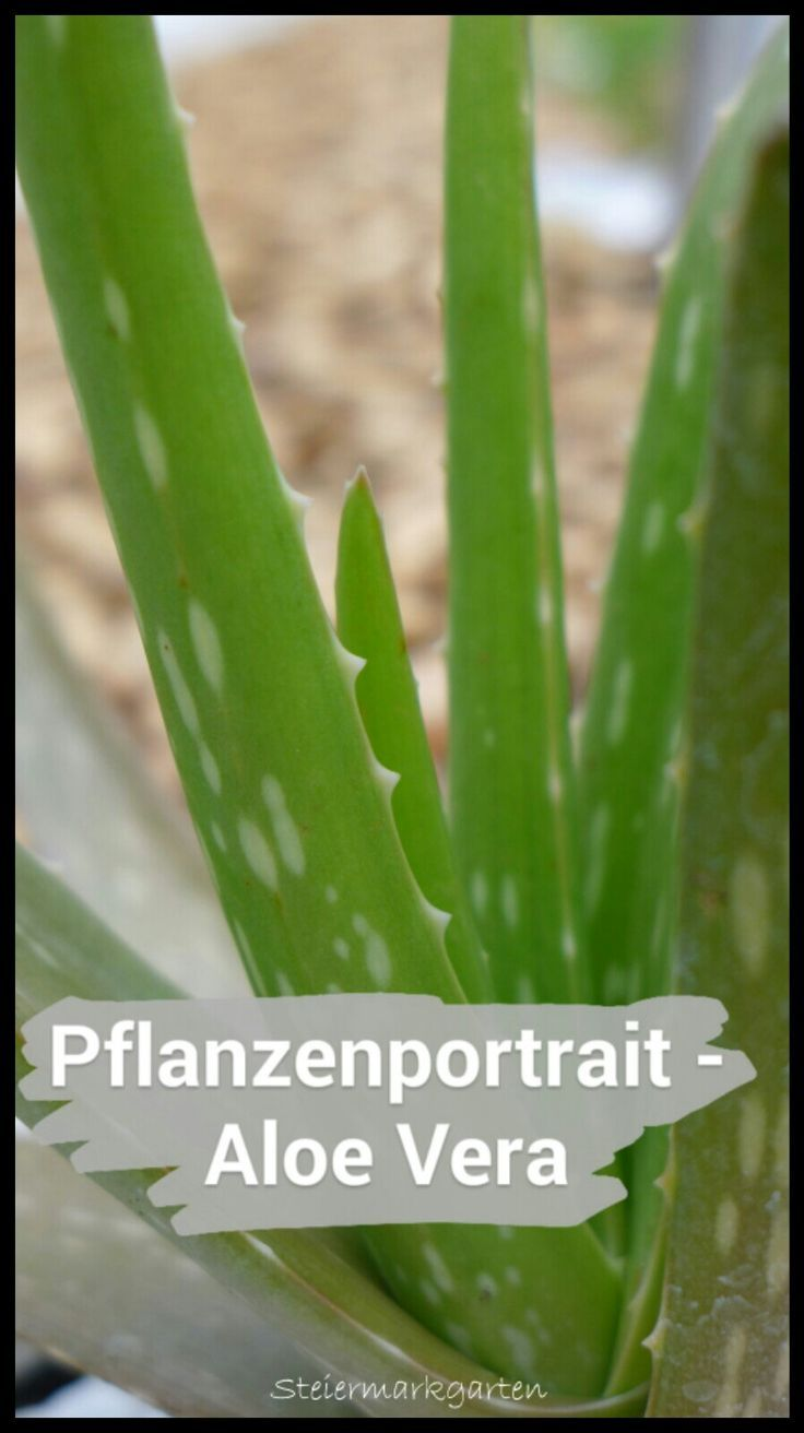 Die Echte Aloe Lat Aloe Vera Auch Lilie Der Wuste Und The Silent Healer Genannt Zahlt Zur Famili Aloe Vera Pflanze Pflege Aloe Vera Pflanze Echte Aloe