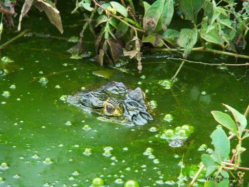 Crocodilo com apenas os olhos de fora da água em um pântano - do blog Sun Tzu e A Arte da Guerra (http://www.suntzulives.com/).