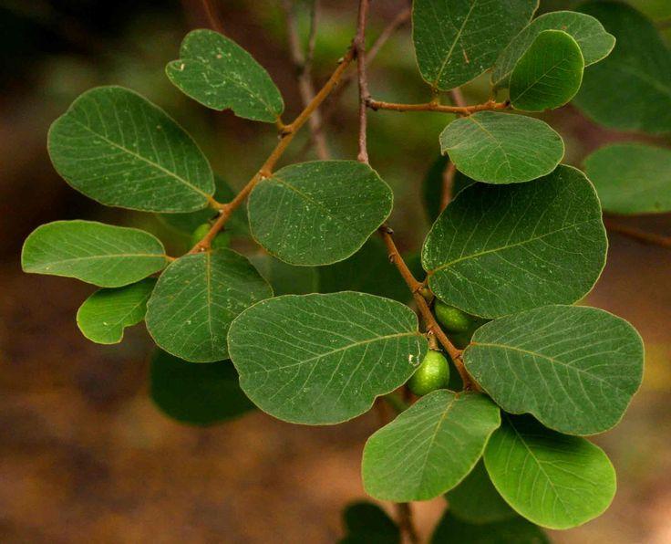 Bridelia mollis (Velvet bridelia; sweetberry ) - Warthog Lodge