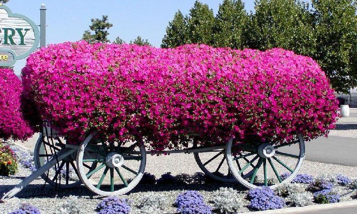 Petúnie, královna truhlíkových letniček | Magazín zahrada