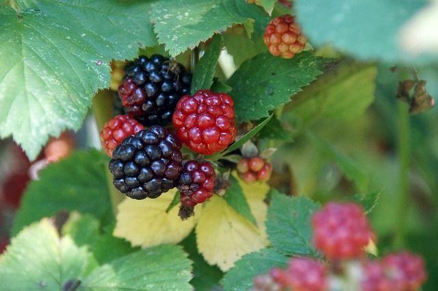 A fekete szeder gyümölcse ember és állat kedvelt tápláléka. Gyógyászati szempontból a Rubus fructicosus levele és termése egyaránt értékes.
