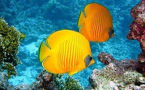Zitronenfalter Fish, Fish, Exotic