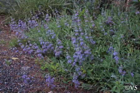 Salvia 'Bee's Bliss' | California Flora Nursery