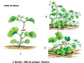 Comment tailler le melon - J. Bordier - l'ABC du potager - Rustica éditions