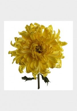 "Photo - ""Chrysanthema"" by Fabio Zonta BUY IT NOW ON www.dezzy.it!"