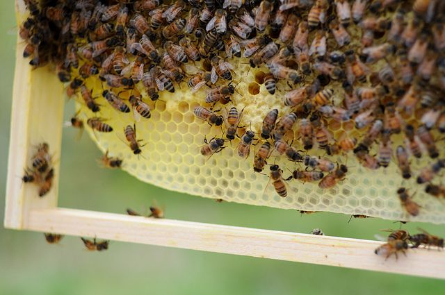 Top bar work in langstroth hive. The girls build the comb the size they want without the foundation