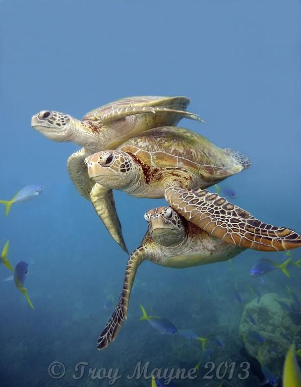 Great Barrier Reef Life | turtle great barrier reef turtle marine reptile sea turtle marine life ...