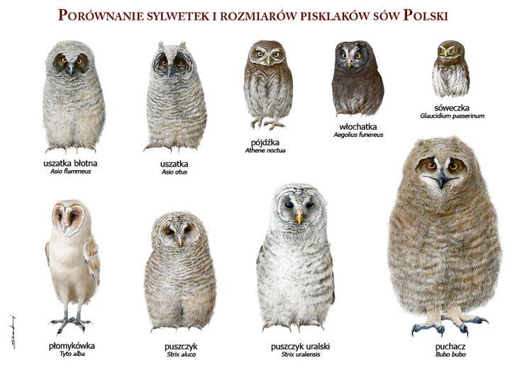 Pisklęta sów gnieżdżących się w Polsce - rys. M. Skakuj