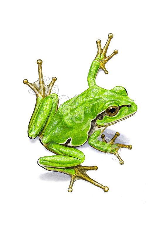 Limited edition tree frog print HA06 by GeckomanArt on Etsy