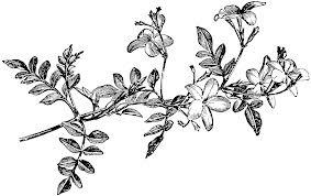 jasmine flower tattoo - Google Search