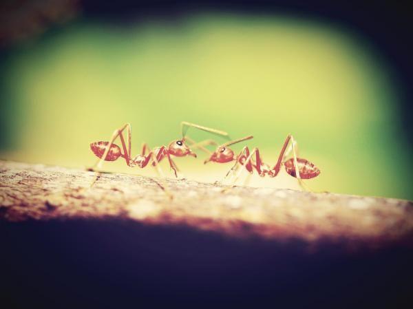 Repelentes naturais para formigas. As formigas são uma das pragas mais habituais em nossas casas. Não chegam a ser tão nojentas como os ratos ou as baratas, mas ninguém gosta de encontrar uma colônia de formigas na cozinha ou na sala d...