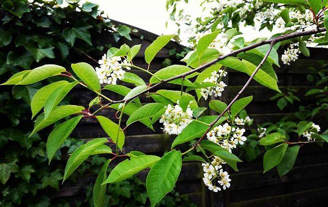 Nu blommar Häggen, närmare bestämt Virginniahägg. Den slår ut med gröna blad på våren för att senare byta färg till rödbladig under sommaren. Ett sirligt vackert flerstammigt träd eller buske  Prunus virginiana Shubert in bloom, first green foliage and later in summer red foliage, that's magic. #hägg #prunusvirginiana