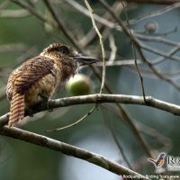 Barred Puffbird by Murray Cooper