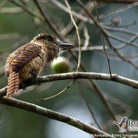 Barred Puffbird by Murray Cooper