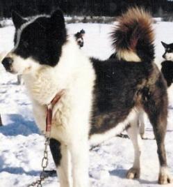 El perro polar argentino (PPA) es una raza canina extinta, desarrollada por el Ejército Argentino para equipar sus bases antárticas en funciones de transporte. El PPA fue un cruce de Husky Siberiano, Alaskan Malamute, Groenlandés y Spitz Manchuriano. Se extinguió en 1994 como consecuencia de su repatriación al continente en cumplimiento de la normativa del Tratado Antártico de Protección del Ambiente (TAPMA).