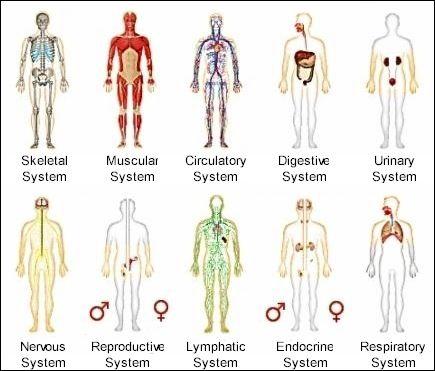10 human body systems | body systems, human body systems and human, Human body