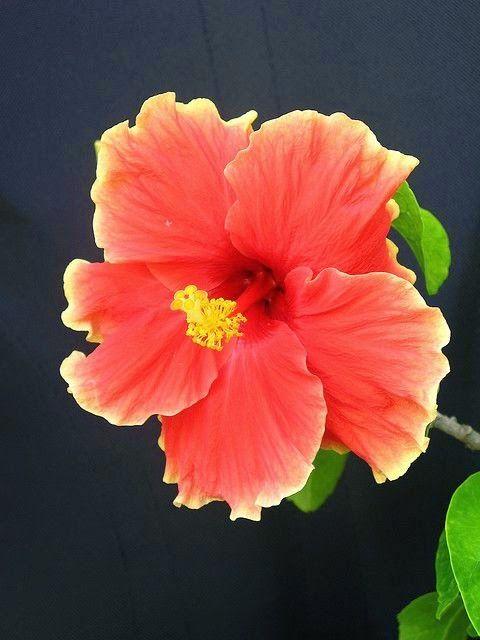 Hibiscus - Pretty Yellow Edging