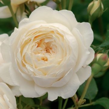 Claire Austin  Beautiful white cups on an elegant shrub. Strong myrrh scent with hints of meadowsweet.