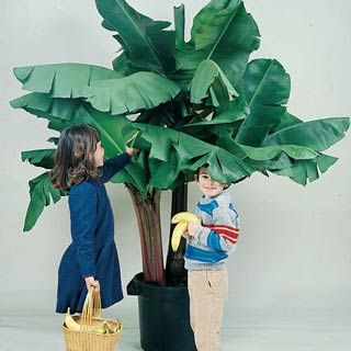 Dwarf Banana Tree  With beautiful rosy flowers and large tropical leaves, this pretty tree bears edible fruit in less than two years. Grow in bright light indoors in winter; move pot outdoors in summer.