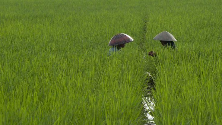13 juin 2014. Deux agriculteurs dans un champ de riz dans le village de Gentasari à Cilacap, sur l'île de Java en Indonésie