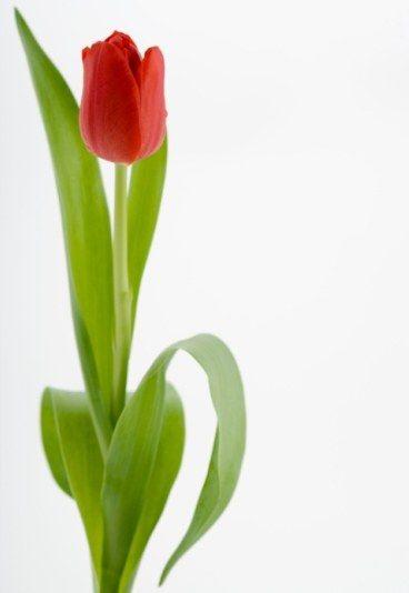 Tulipe  Je te promets un amour sincère  Dans le langage des fleurs, la tulipe symbolise une déclaration d'amour sincère.  Tulipe multicolore : Je rêve d'un amour fou et extravagant. Tulipe blanche : Je t'aime d'un amour extrême. Tulipe jaune : Je suis désespérément amoureux. Tulipe noire : Je souffre intensément. Tulipe rouge : symbolise l'amour éternel. Tulipe double : Nous réussirons. Tulipe diaprée : Tu as des yeux magnifiques.